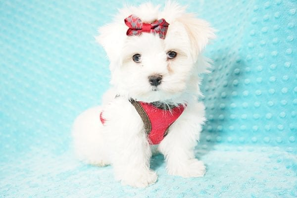 I Puppy X - Teacup Maltese Puppy Found Her Good Loving Home With Venkatesh K. In Artesia CA, 90701-21632