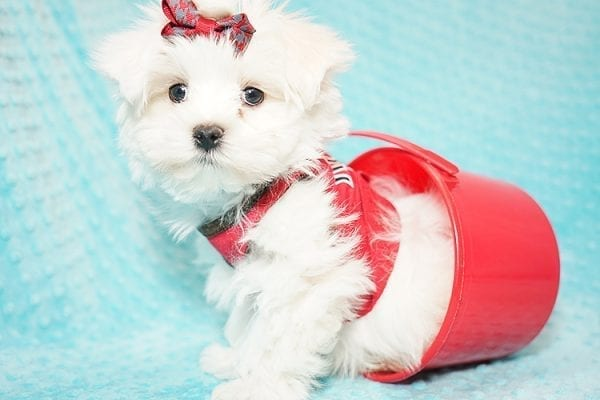 I Puppy X - Teacup Maltese Puppy Found Her Good Loving Home With Venkatesh K. In Artesia CA, 90701-21663