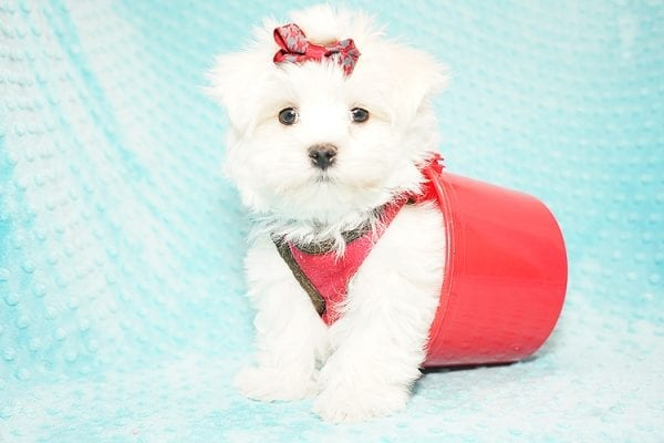 I Puppy X - Teacup Maltese Puppy Found Her Good Loving Home With Venkatesh K. In Artesia CA, 90701-21645