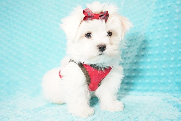 I Puppy X - Teacup Maltese Puppy Found Her Good Loving Home With Venkatesh K. In Artesia CA, 90701-21634