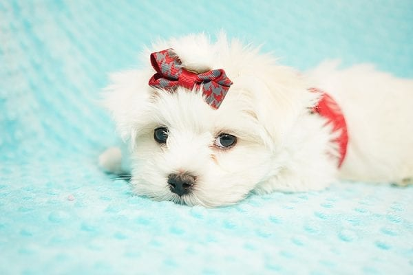 I Puppy X - Teacup Maltese Puppy Found Her Good Loving Home With Venkatesh K. In Artesia CA, 90701-21647