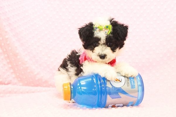 Venus - Toy Maltipoo Puppy Found Her Forever Home With Jared in 92503-22549