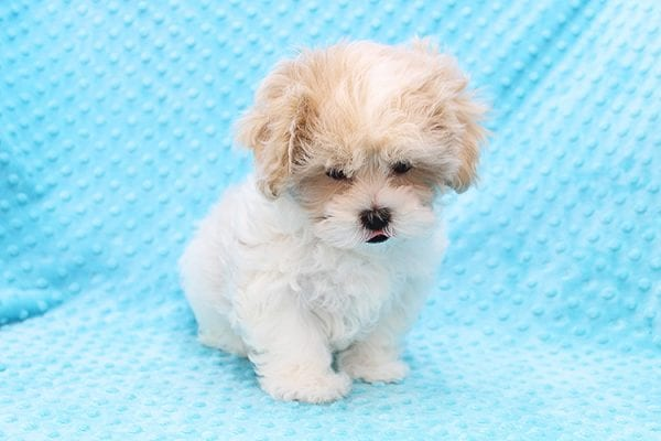 Fleetwood Mac - Toy Malshih Puppy Found His Forever Home With Talin In 91020-22512