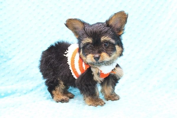Barney - Teacup Yorkie Puppy Found His Forever Home With Tammy In 92688-22502