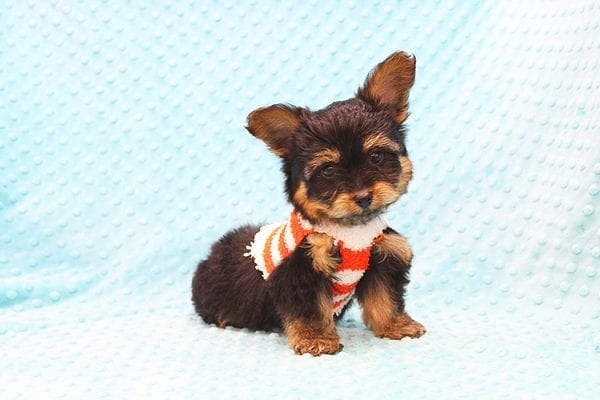 Barney - Teacup Yorkie Puppy Found His Forever Home With Tammy In 92688-22504