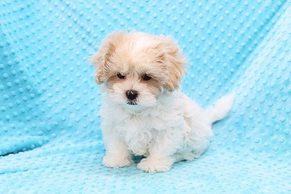 Fleetwood Mac - Toy Malshih Puppy Found His Forever Home With Talin In 91020-22513