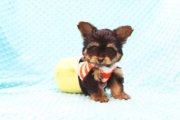 Barney - Teacup Yorkie Puppy Found His Forever Home With Tammy In 92688-22503
