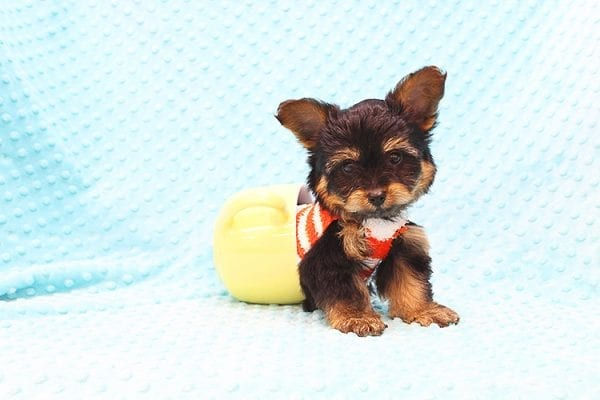 Barney - Teacup Yorkie Puppy Found His Forever Home With Tammy In 92688-0