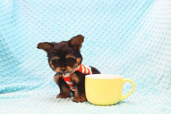 Barney - Teacup Yorkie Puppy Found His Forever Home With Tammy In 92688-22506