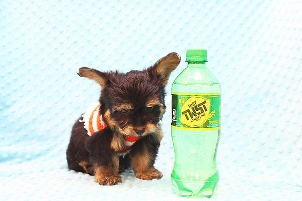 Barney - Teacup Yorkie Puppy Found His Forever Home With Tammy In 92688-22505