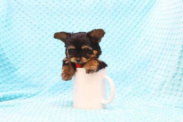Barney - Teacup Yorkie Puppy Found His Forever Home With Tammy In 92688-22508