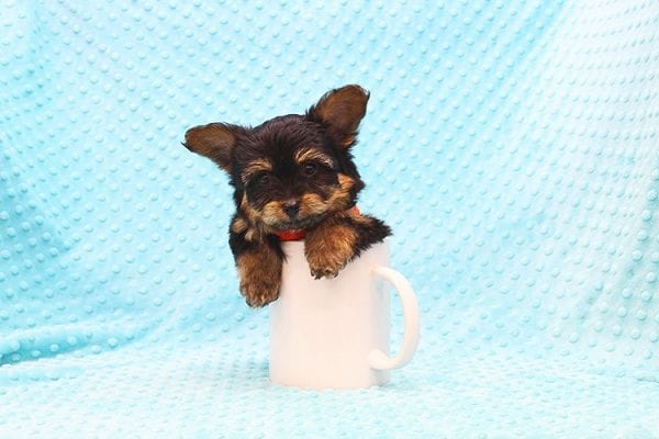 Barney - Teacup Yorkie Puppy Found His Forever Home With Tammy In 92688-22510