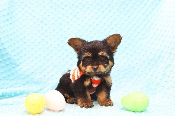 Barney - Teacup Yorkie Puppy Found His Forever Home With Tammy In 92688-22509