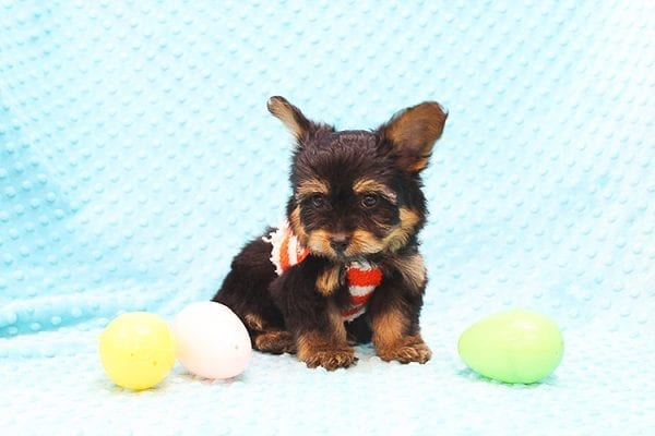 Barney - Teacup Yorkie Puppy Found His Forever Home With Tammy In 92688-22511