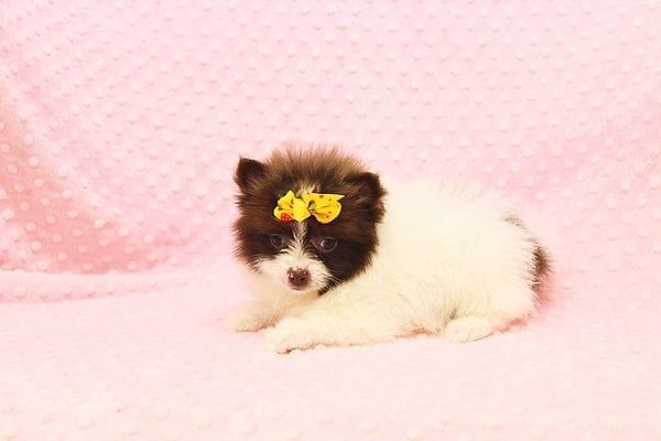 Pat Benatar - Teacup Pomeranian Puppy adopted by stacey in 92618-22527