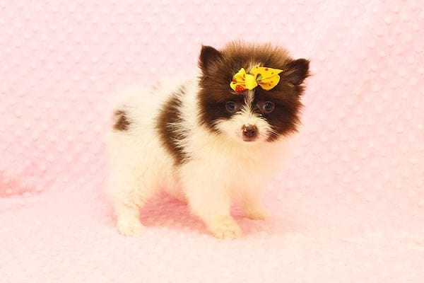 Pat Benatar - Teacup Pomeranian Puppy adopted by stacey in 92618-22526