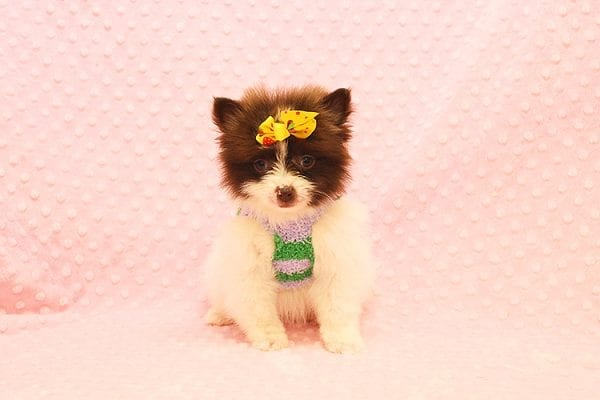 Pat Benatar - Teacup Pomeranian Puppy adopted by stacey in 92618-22528