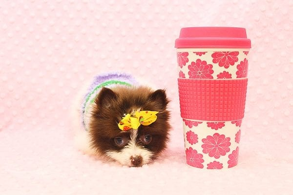 Pat Benatar - Teacup Pomeranian Puppy adopted by stacey in 92618-22529