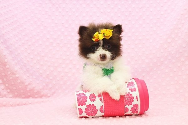 Pat Benatar - Teacup Pomeranian Puppy adopted by stacey in 92618-0