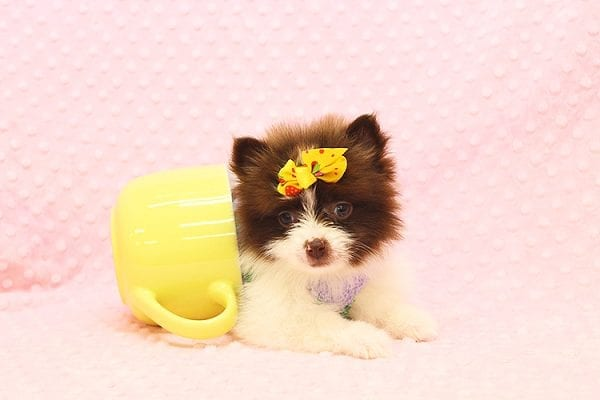 Pat Benatar - Teacup Pomeranian Puppy adopted by stacey in 92618-22532