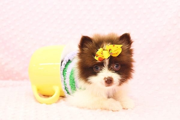 Pat Benatar - Teacup Pomeranian Puppy adopted by stacey in 92618-22533
