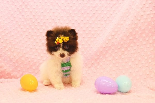 Pat Benatar - Teacup Pomeranian Puppy adopted by stacey in 92618-22534