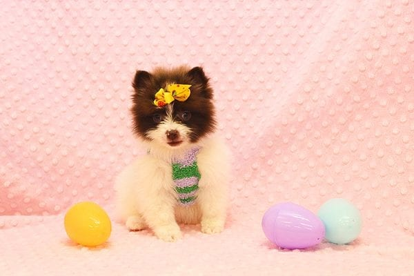 Pat Benatar - Teacup Pomeranian Puppy adopted by stacey in 92618-22536