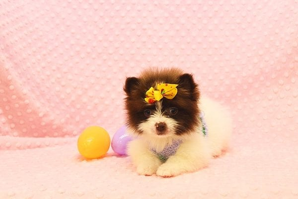 Pat Benatar - Teacup Pomeranian Puppy adopted by stacey in 92618-22535