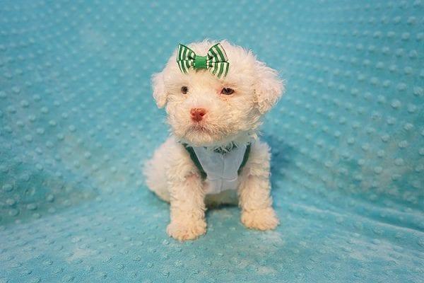 7-Up - Teacup Maltipoo Puppy In Costa Mesa-22303