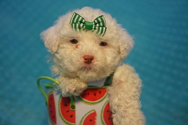 7-Up - Teacup Maltipoo Puppy In Costa Mesa-22307