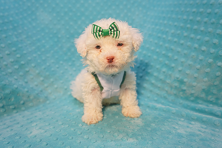 7-Up - Teacup Maltipoo Puppy In Costa Mesa-0