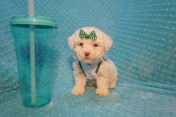 7-Up - Teacup Maltipoo Puppy In Costa Mesa-22301