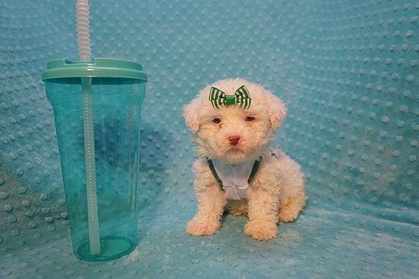 7-Up - Teacup Maltipoo Puppy In Costa Mesa-22302