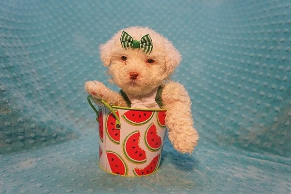 7-Up - Teacup Maltipoo Puppy In Costa Mesa-22305