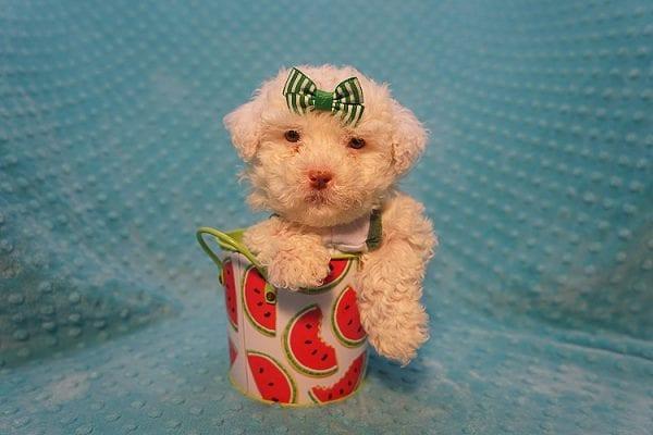 7-Up - Teacup Maltipoo Puppy In Costa Mesa-22306