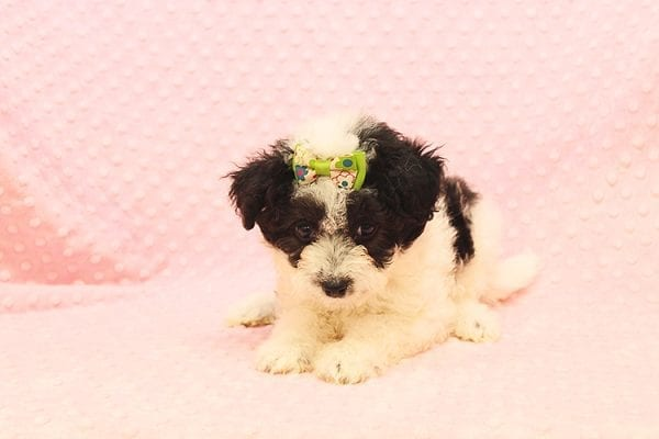 Venus - Toy Maltipoo Puppy Found Her Forever Home With Jared in 92503-22538