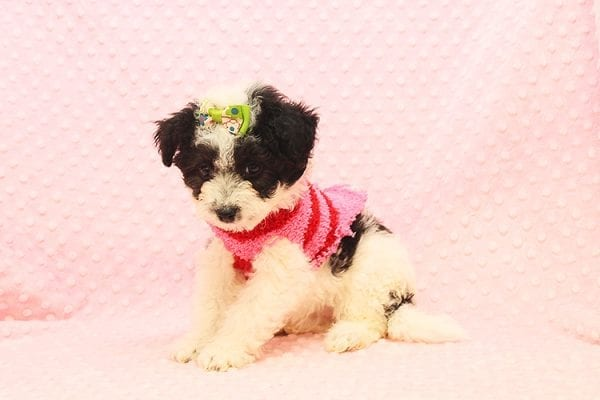 Venus - Toy Maltipoo Puppy Found Her Forever Home With Jared in 92503-22539