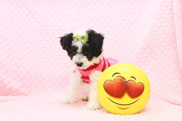 Venus - Toy Maltipoo Puppy Found Her Forever Home With Jared in 92503-22547