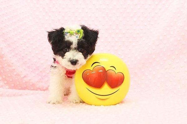 Venus - Toy Maltipoo Puppy Found Her Forever Home With Jared in 92503-22540