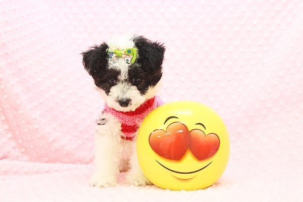 Venus - Toy Maltipoo Puppy Found Her Forever Home With Jared in 92503-22541