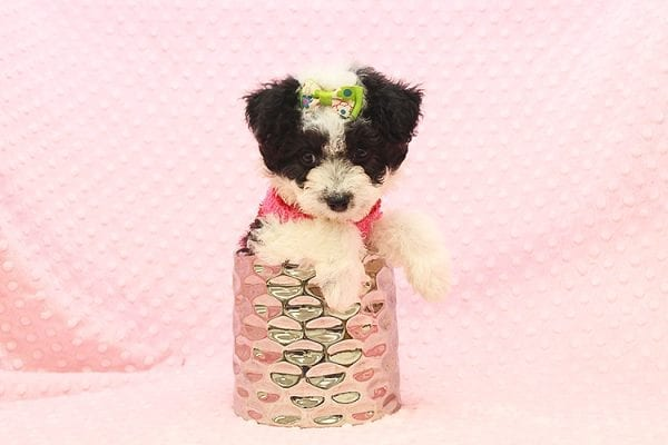 Venus - Toy Maltipoo Puppy Found Her Forever Home With Jared in 92503-22542