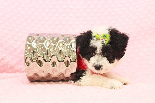 Venus - Toy Maltipoo Puppy Found Her Forever Home With Jared in 92503-22544