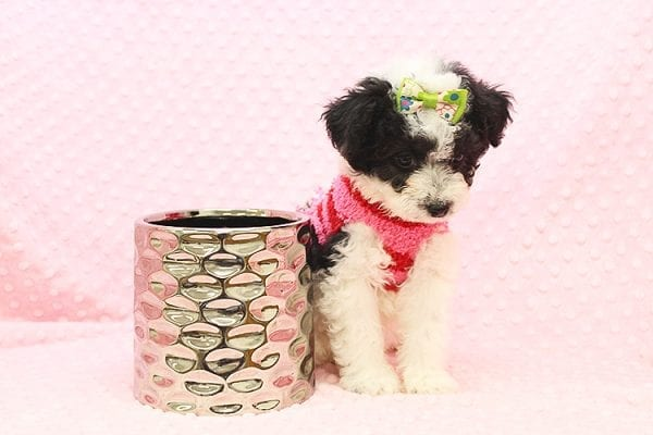 Venus - Toy Maltipoo Puppy Found Her Forever Home With Jared in 92503-22545