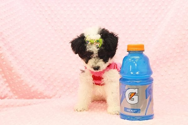 Venus - Toy Maltipoo Puppy Found Her Forever Home With Jared in 92503-22548