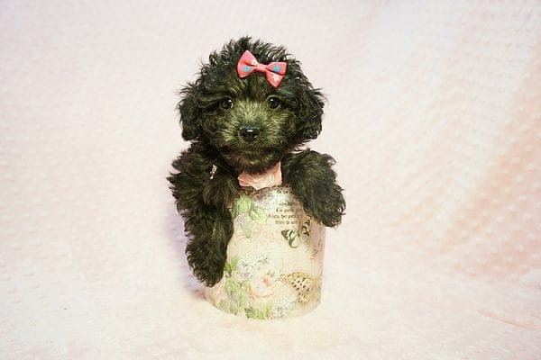Allison Janney - Toy Maltipoo Puppy has found a good loving home with Rene from Las Vegas.-22049