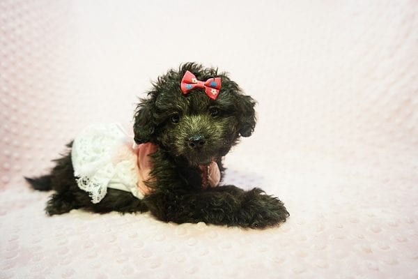 Allison Janney - Toy Maltipoo Puppy has found a good loving home with Rene from Las Vegas.-0