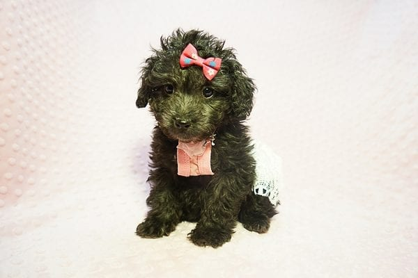 Allison Janney - Toy Maltipoo Puppy has found a good loving home with Rene from Las Vegas.-21993