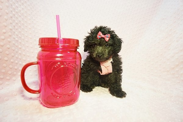 Allison Janney - Toy Maltipoo Puppy has found a good loving home with Rene from Las Vegas.-21996