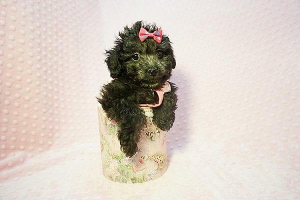 Allison Janney - Toy Maltipoo Puppy has found a good loving home with Rene from Las Vegas.-22050