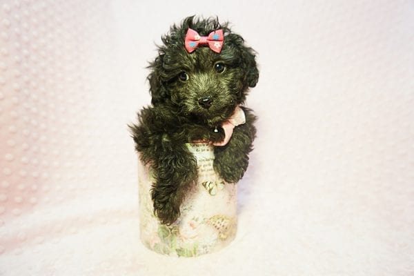 Allison Janney - Toy Maltipoo Puppy has found a good loving home with Rene from Las Vegas.-21998
